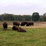 Kurozwęki - bizony